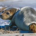Stranded Seal on Saquish