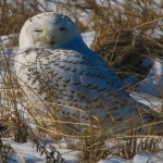 Snowy Owl on Gurnet Road/Duxbury Beach