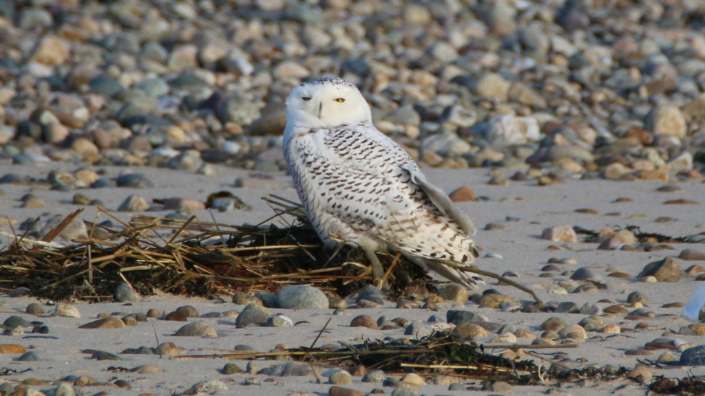 Snowy - Owl - Gurnet Road - 11-17-17-32